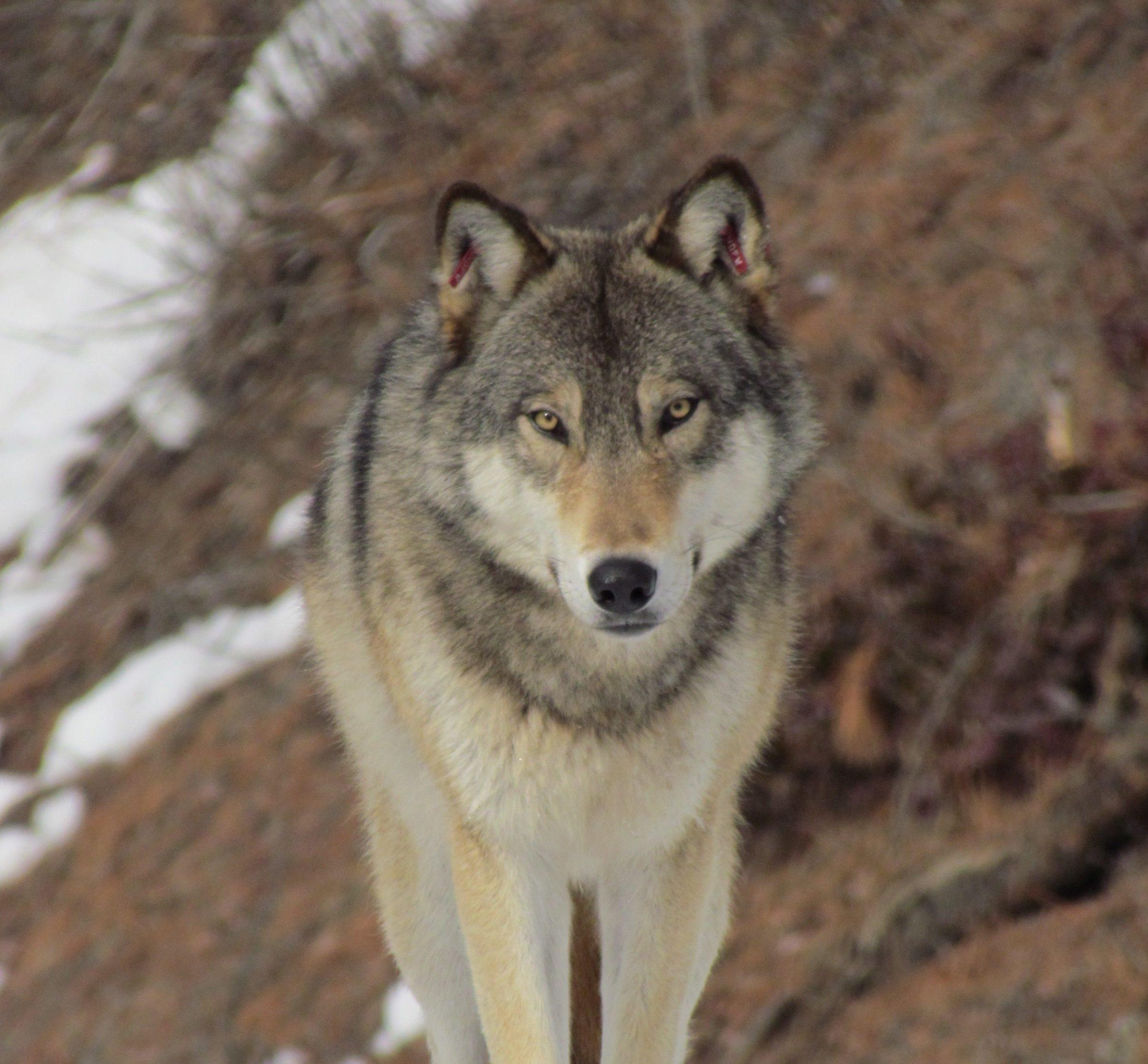 d71657b21817d5 Washington s Wolves