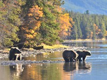 Grizzly bears in the Coast to Cascades
