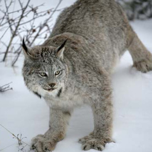 A Canada lynx, the rarest feline in the Pacific Northwest and a native species in need of protection. Photo: USFWS